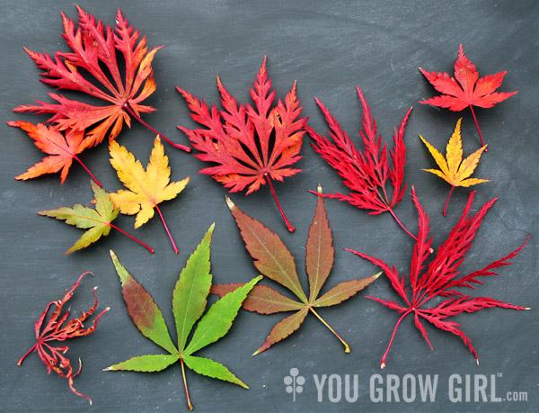 You Grow Girl Autumn Acers On Fire