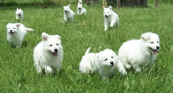 stars litter puppies