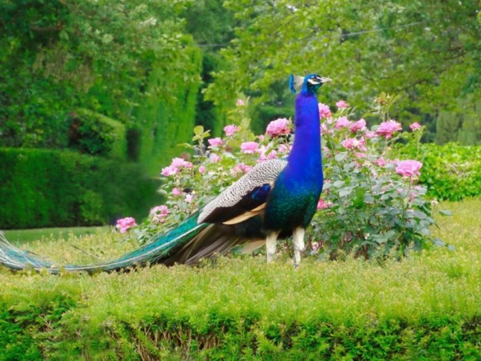 Top 100+ Most Beautiful and Colorful Pictures Of Peacock HD Images