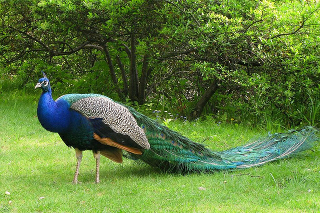 top 10 most beautiful peacock wallpapers