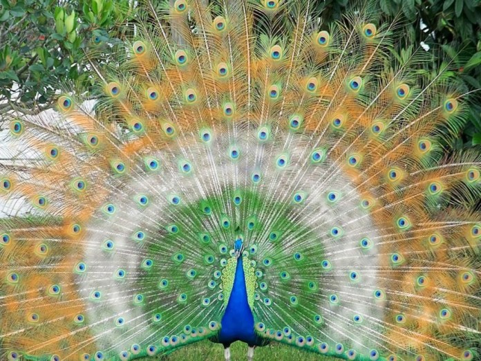 indian peacock in flag colors pic