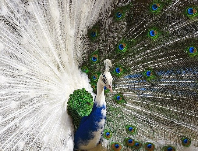 stunning wallpapears of peacock