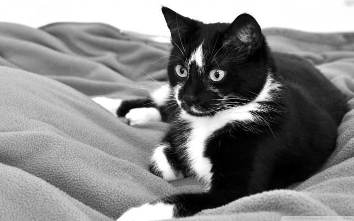 black cat wallpapers for desktop background