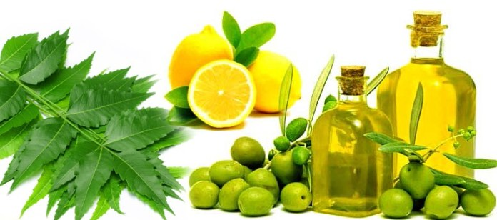 Olive Oil And Neem Home Remedies To Treat Dandruff How To Stop Dandruff Through Home Remedies remedies to get rid off from dandruff.