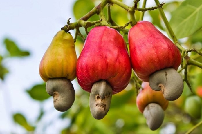 Cashew tree Images Cashew Apple Cashew Nuts Health Benefits