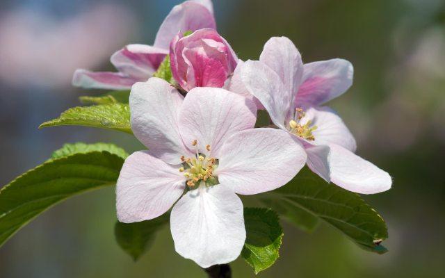 Apple Blossom Flower Image Beautiful Flowers Pretty Flowers