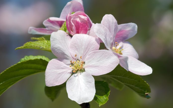 Apple Blossom Flower Image Beautiful Flowers Pretty Flowers