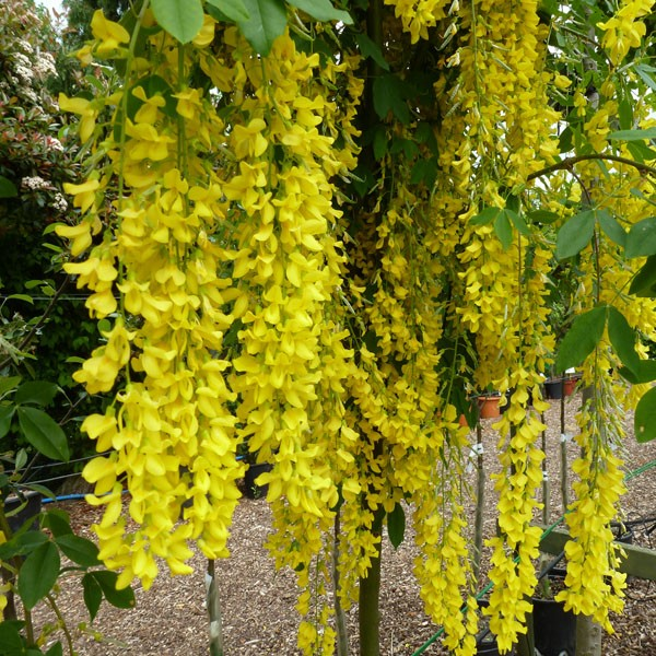 beautiful yellow flowers wallpaeprs