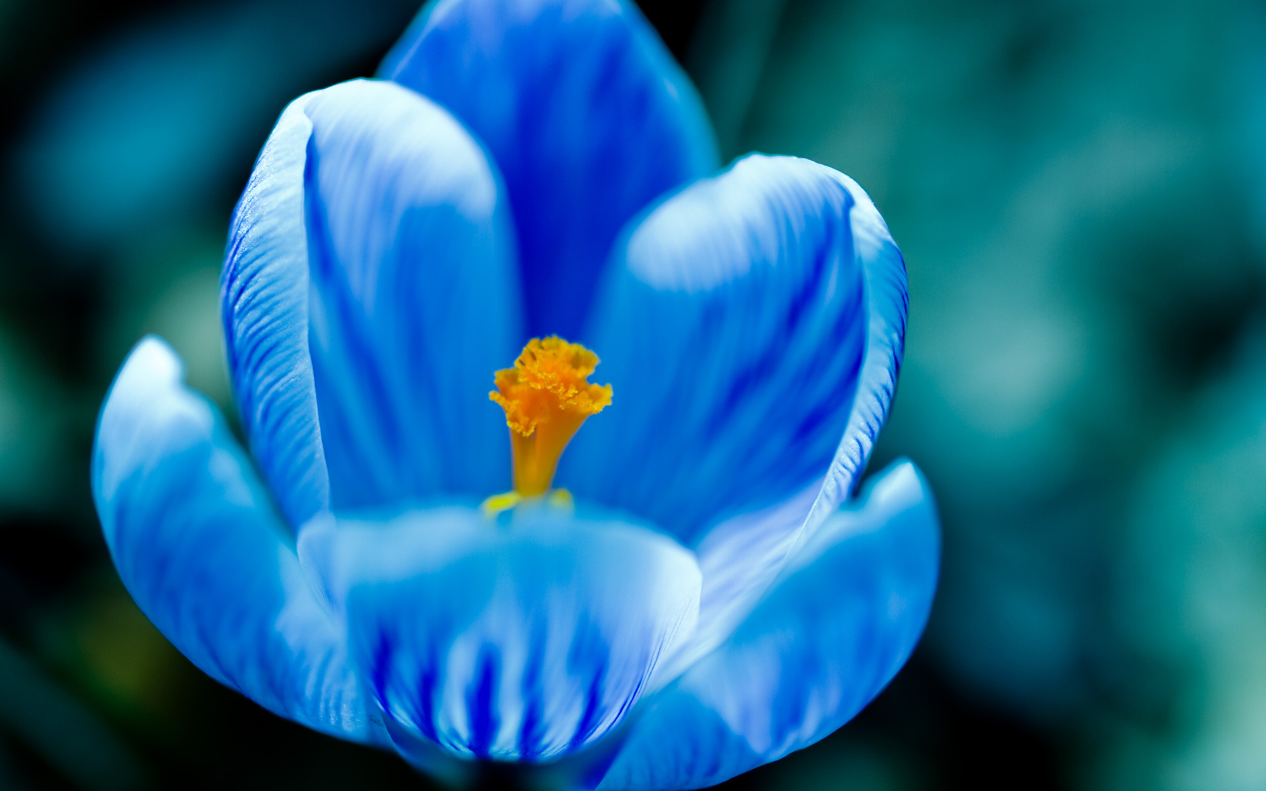 Blue Crocus Flower Wallpaper Beautiful Most Flowers Bloom Blossom