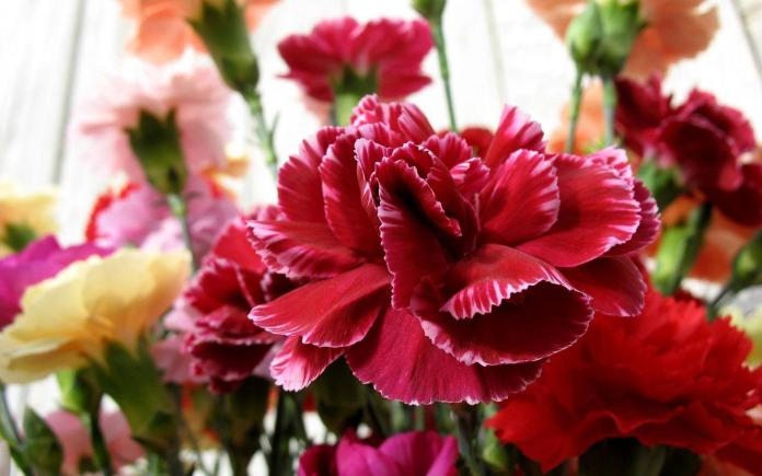 carnations flowers Images Most Beautiful Flowers in the world