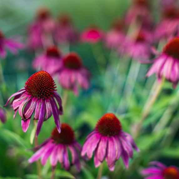 delicate echinacea purpurea flowers blooming in garden