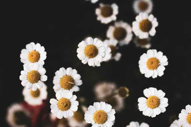 bunch of delicate tanacetum parthenium flowers