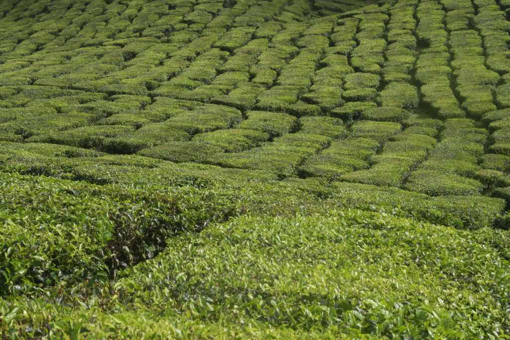Rows of tea plants