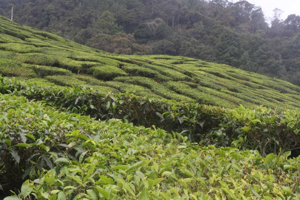 View across tea plantation valley