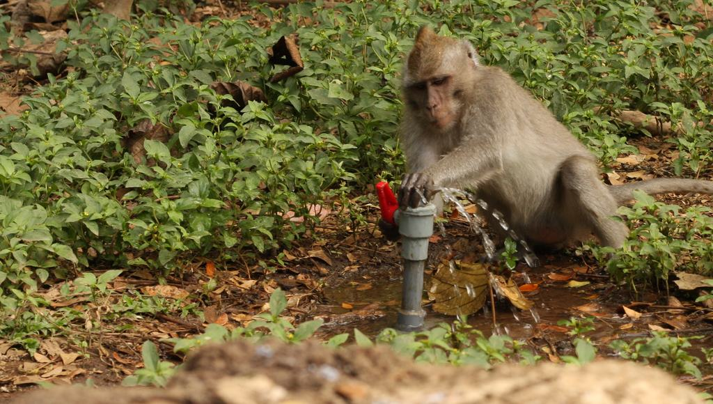 Monkey using tap to get water