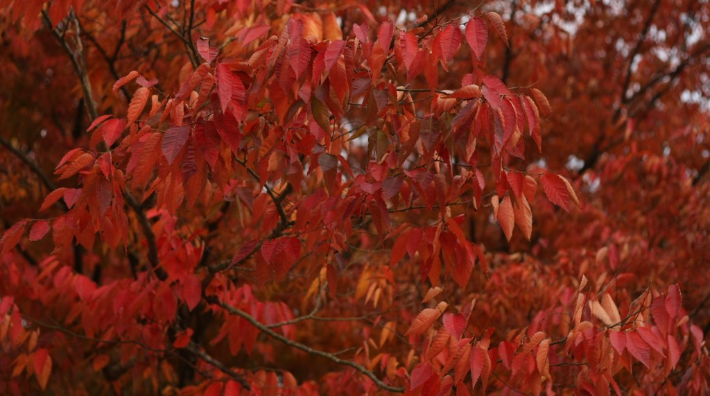 Red autumn leaves outside Andong Folk Museum