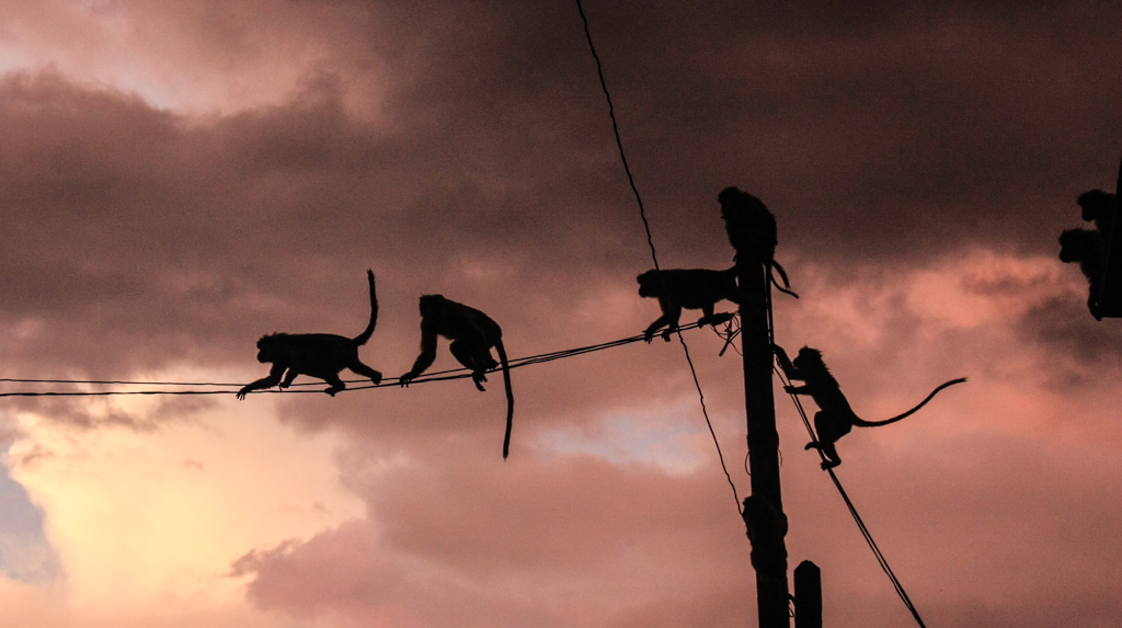 Monkeys climbing wire