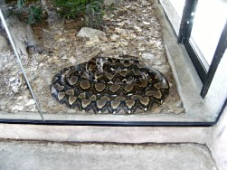 One of the Giant Snakes at the Zoo