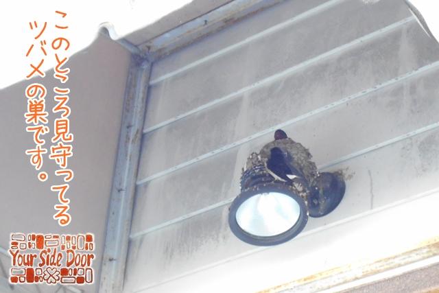 見守っているツバメの巣です。2羽いるの分かるでしょうか
