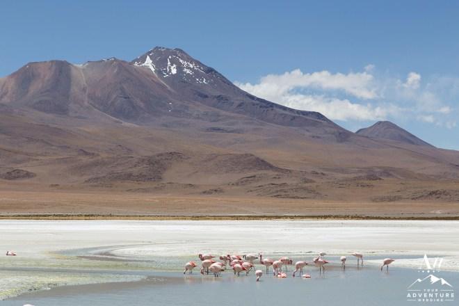 Photograph of flamingos on Laguna Hedionda in national park Eduardo Avaroa in the South West of Bolivia.