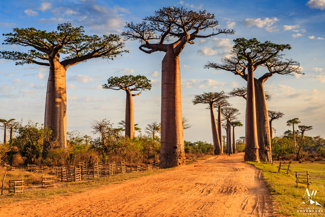 Elopement in Madagascar Baobab trees at sunset