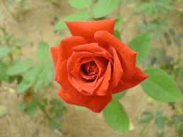 At Christmas I no more desire a rose, than wish a snow in May's new fangled mirth, but like of each thing as in season grows