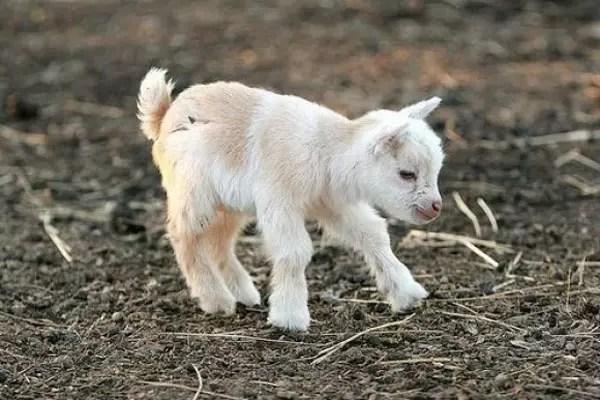 baby-animals-59