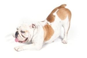 bulldog-crop
