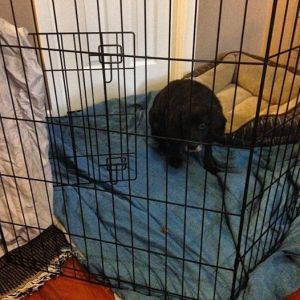 3/13 - We bring home Rex and set him up a habitat with a covered crate.
