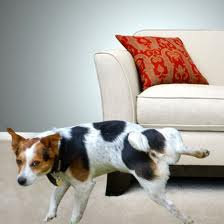 Does your dog urinate on the furniture or walls of your house?