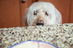 Dog about to steal food from kitchen counter