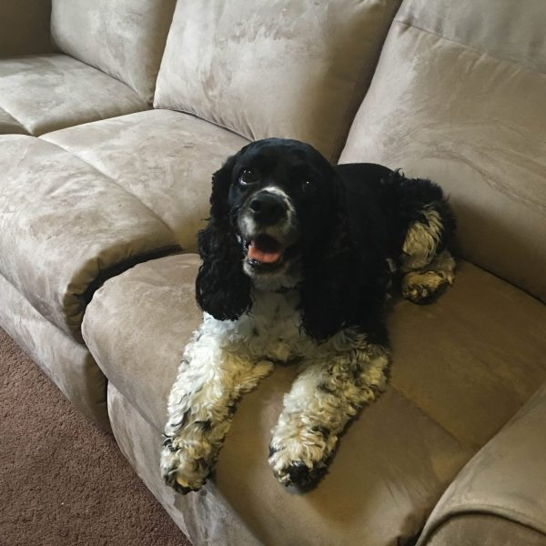 a black and white cocker spaniel relaxing on a brown couch