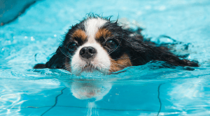 Cavalier King Charles Spaniel swimming in a pool