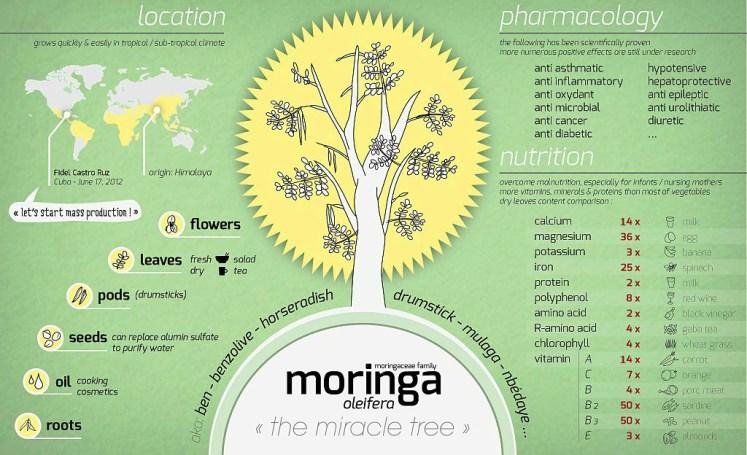 Moringa olifeira info graph