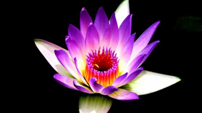 the Lotus flower is common symbol of mindfulness