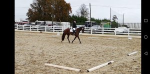Bay pony doing dressage in Ballinasloe