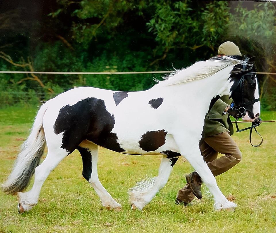 Piebald mare called ruby shown in hand