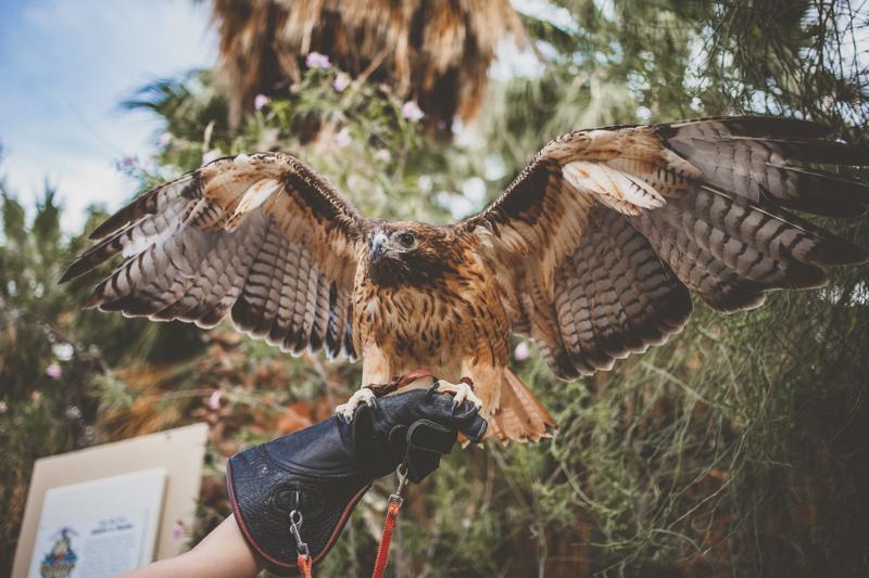 living desert wedding hawk