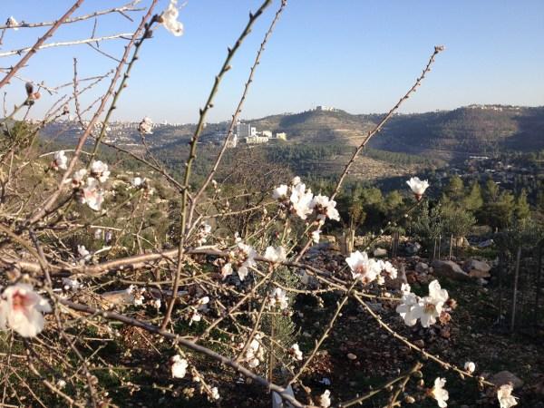 Almond Blossoms Sataf