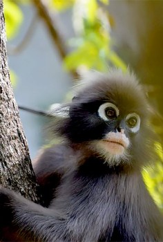 Dusky langurs are local residents