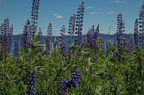 bunch of lupins