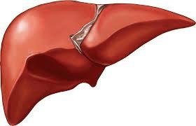 human-liver