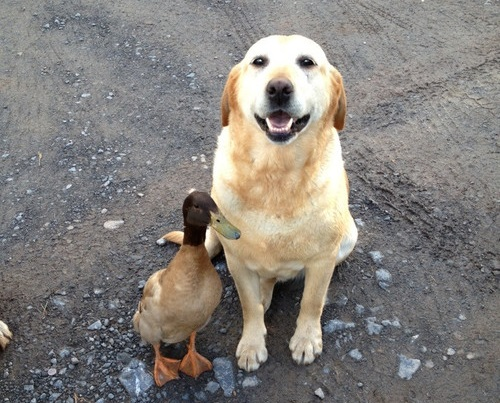 dog-and-duck