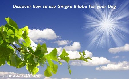 Learn how to use ginkgo biloba for your dog