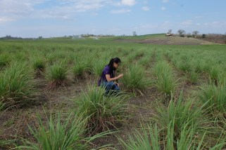 Lemongrass plantation
