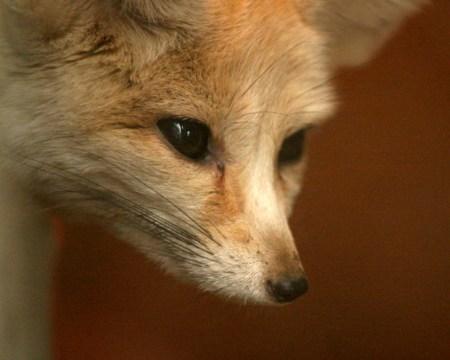 Brown Greedy Fox