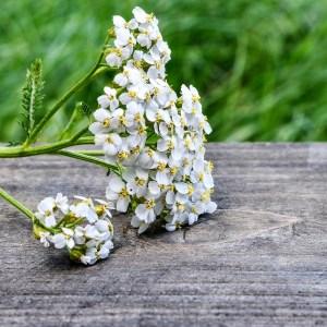 Tisane d'Achillée Millefeuille bio yourte végétale montaimont saint françois longchamp savoie ferme agriculture