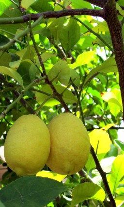 Large, ripe lemons hanging from tree - Fruit trees in front yard - 1205 S Sandstone Street, Gilbert AZ 85396 - Western Skies Golf Community - Bill Salvatore, Arizona Elite Properties 602-999-0952 - Arizona Real Estate
