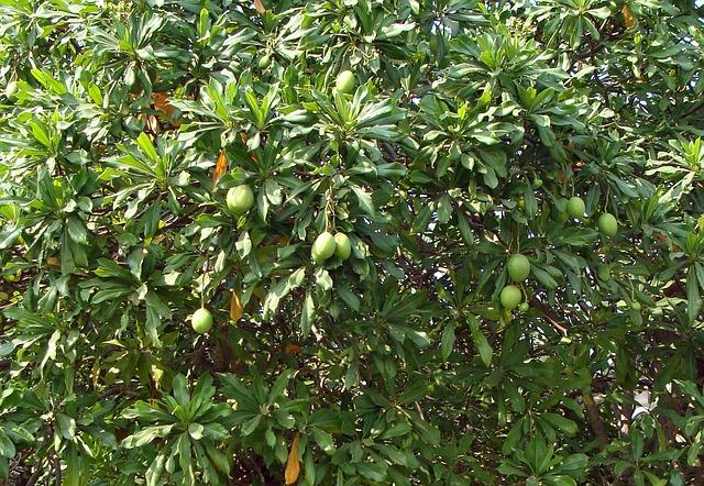 mango tree pixabay