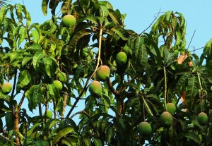 mango fruits tree pixabay